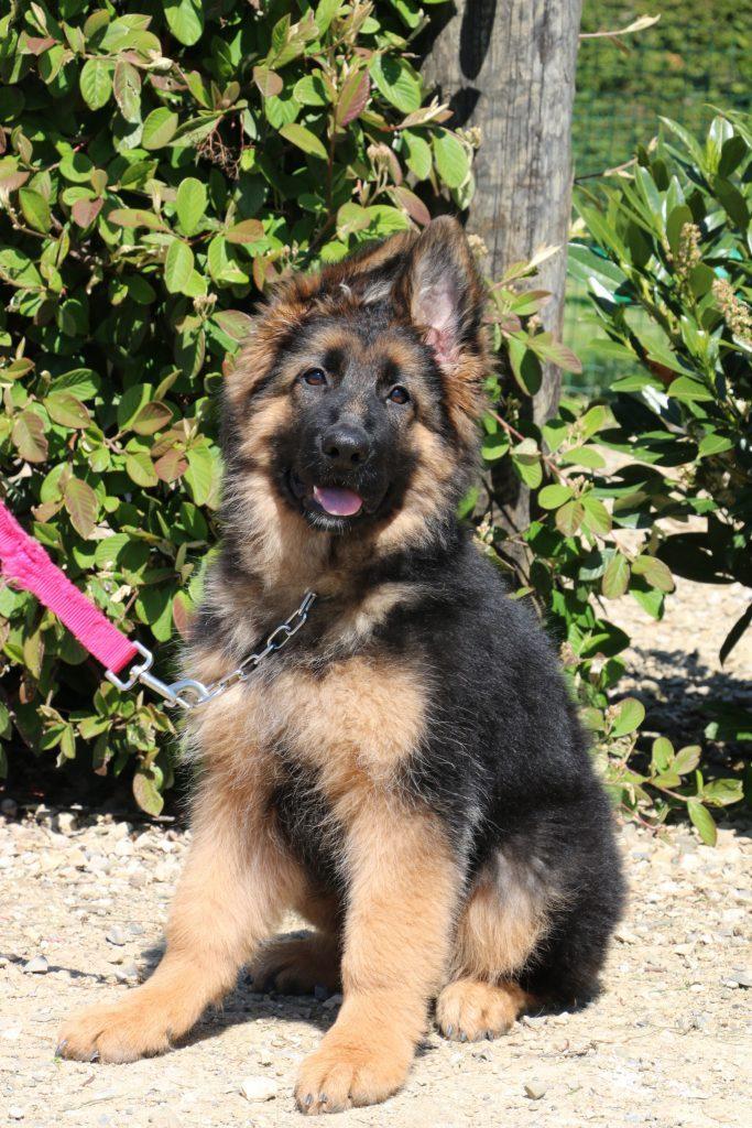 Education canine chiot laisse 683x1024 - Baby Show et Confirmation Berger Allemand - C.S.A.U. le 23 mai 2021: à Miribel (01)